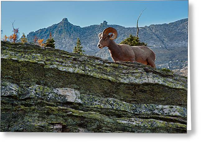 Bighorn Greeting Cards - Bighorn Greeting Card by Sebastian Musial