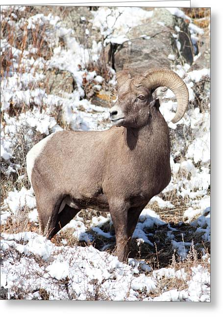 Natural Focal Point Photography Greeting Cards - BigHorn Sheep in Rocky Mountain National Park Greeting Card by Natural Focal Point Photography