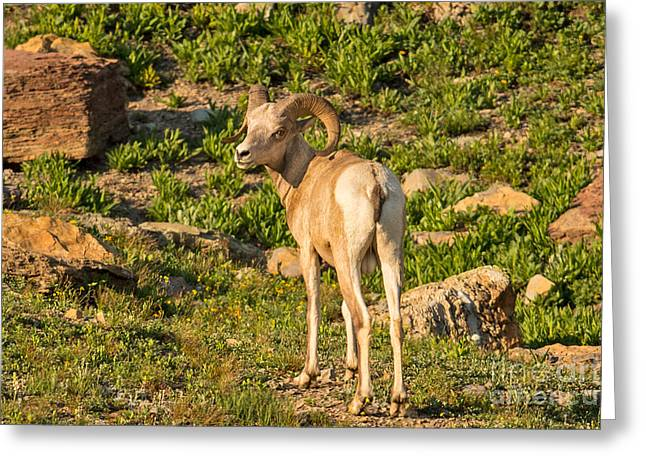 Bighorn Sheep Ram In Glacier Greeting Card by Natural Focal Point Photography