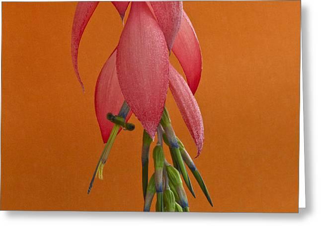 Bilbergia  Windii Blossom Greeting Card by Heiko Koehrer-Wagner