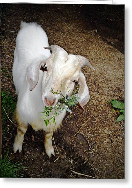 Chevon Greeting Cards - Billy the Goat Greeting Card by Pamela Patch