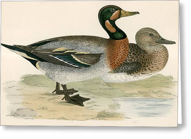 Hunting Bird Greeting Cards - Bimaculated Duck Greeting Card by Beverley R. Morris