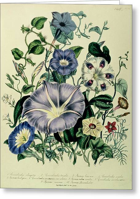 Morning Glories Greeting Cards - Bindweed, Plate 26 From The Ladies Flower Garden, Published 1842 Colour Litho Greeting Card by Jane Loudon