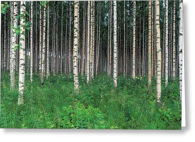 Birch Tree Greeting Cards - Birch Forest, Punkaharju, Finland Greeting Card by Panoramic Images
