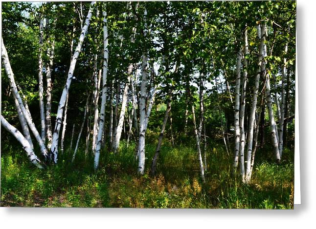Birch Tree Greeting Cards - Birch Grove in the Sunlight Greeting Card by Michelle Calkins