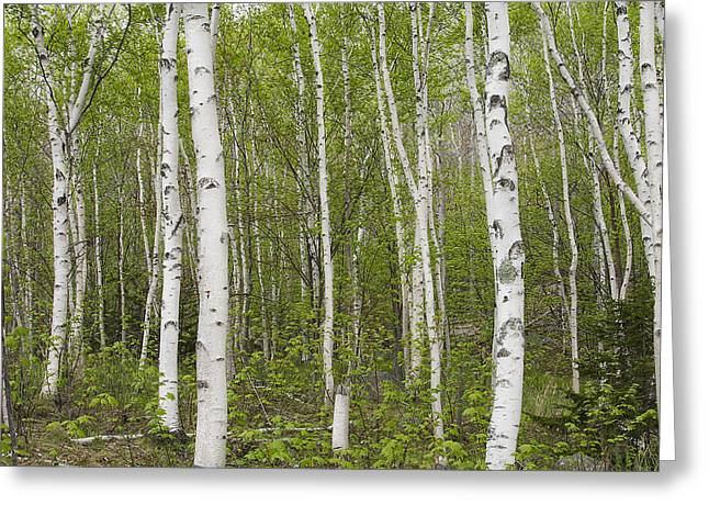 Persuade Greeting Cards - Birch Stand Greeting Card by Patsy Zedar