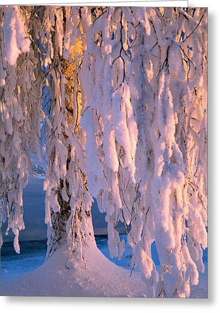 Birch Tree Greeting Cards - Birch Tree Covered With Snow, Imatra Greeting Card by Panoramic Images
