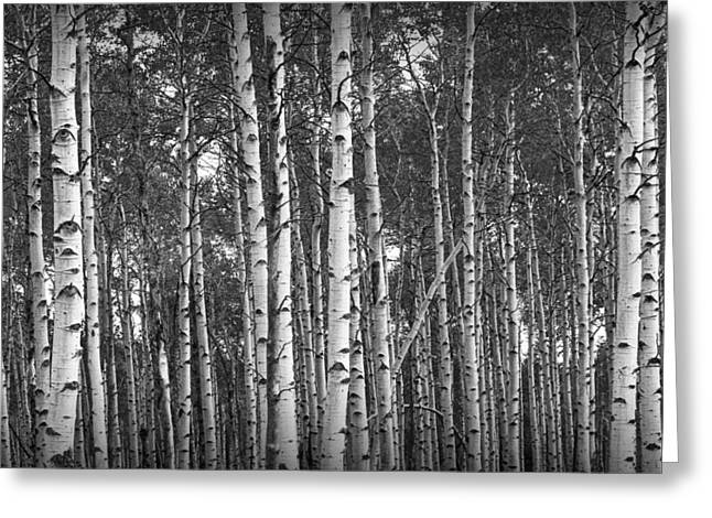 Birch Grove Greeting Cards - Birch Tree Grove in Black and White Greeting Card by Randall Nyhof