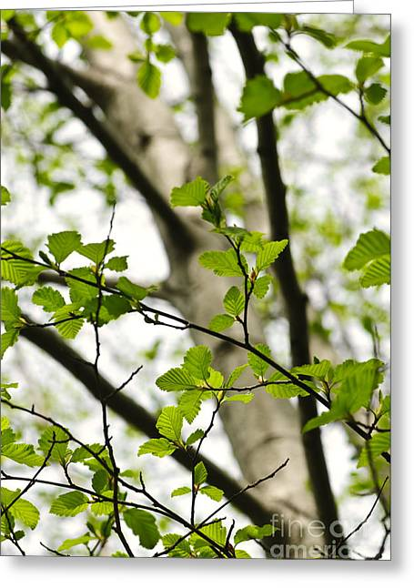 Forest Detail Greeting Cards - Birch tree in spring Greeting Card by Elena Elisseeva