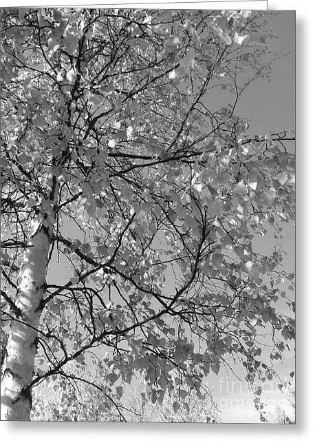 Jennifer Kimberly Greeting Cards - Birch Tree Greeting Card by Jennifer Kimberly