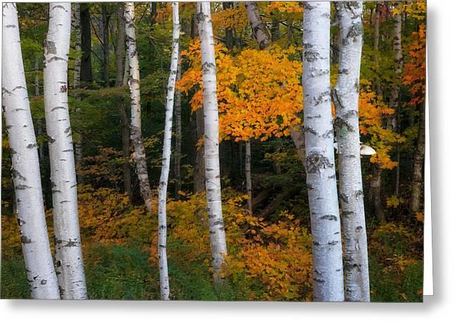 Birch Tree Pan Greeting Card by Darylann Leonard Photography