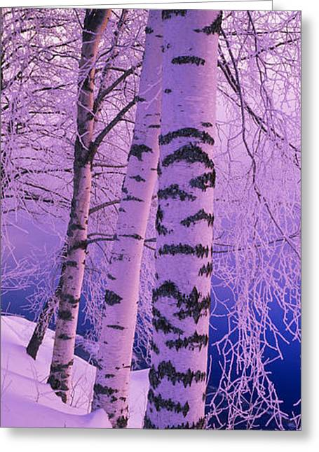 Birch Tree Greeting Cards - Birch Trees At The Frozen Riverside Greeting Card by Panoramic Images