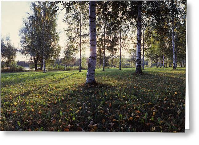 Fallen Leaf Greeting Cards - Birch Trees, Imatra, Finland Greeting Card by Panoramic Images