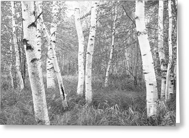 Birch Tree Greeting Cards - Birch Trees In A Forest, Acadia Greeting Card by Panoramic Images