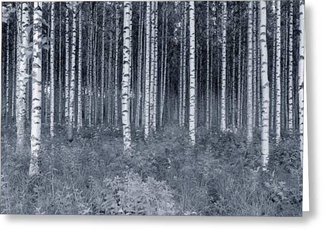 Birch Tree Greeting Cards - Birch Trees In A Forest, Finland Greeting Card by Panoramic Images