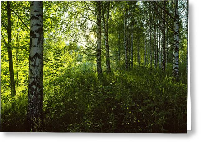 Birch Tree Greeting Cards - Birch Trees In A Forest, Lappeenranta Greeting Card by Panoramic Images