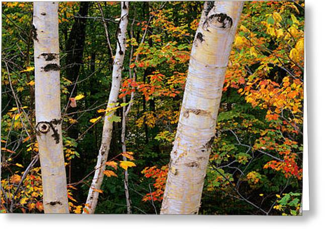 Birch Tree Greeting Cards - Birch Trees In A Forest, New Hampshire Greeting Card by Panoramic Images