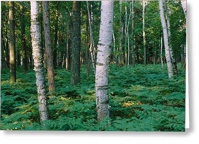 Birch Tree Greeting Cards - Birch Trees In A Forest Greeting Card by Panoramic Images