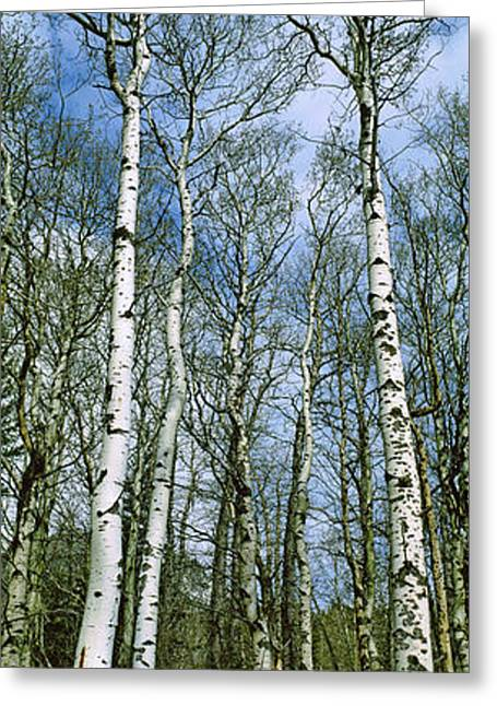 Birch Tree Greeting Cards - Birch Trees In A Forest, Us Glacier Greeting Card by Panoramic Images