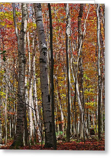 Western Ma Greeting Cards - Birch Trees in Autumn Greeting Card by Juergen Roth