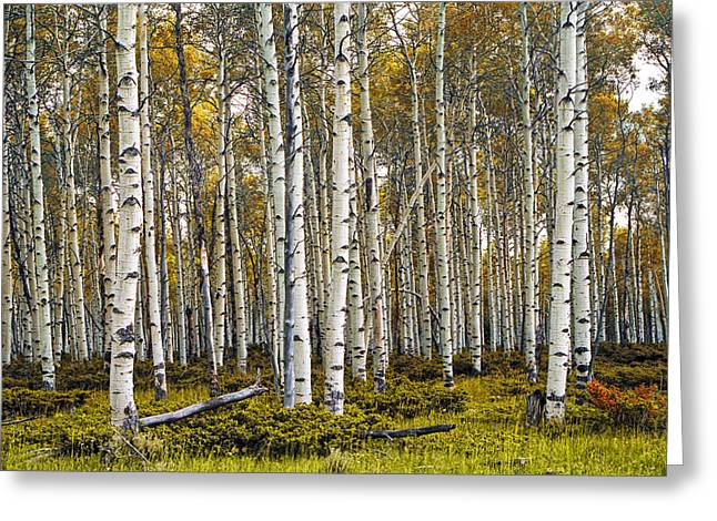 Birch Grove Greeting Cards - Aspen Trees in Autumn Greeting Card by Randall Nyhof