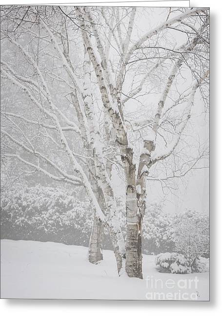 Snowstorm Greeting Cards - Birch trees in winter Greeting Card by Elena Elisseeva