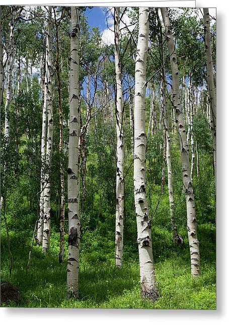 Birch Trees Greeting Card by Jim West