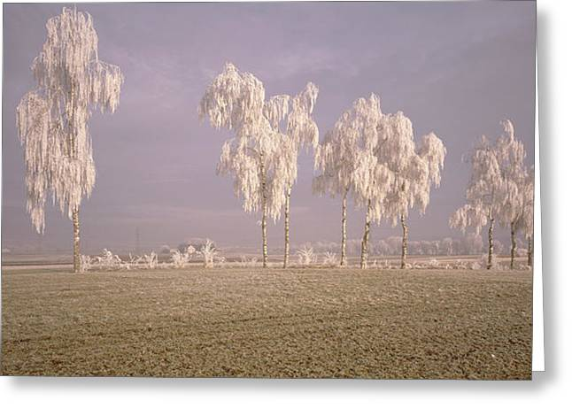 Birch Tree Greeting Cards - Birch Trees W\ Rime Switzerland Greeting Card by Panoramic Images
