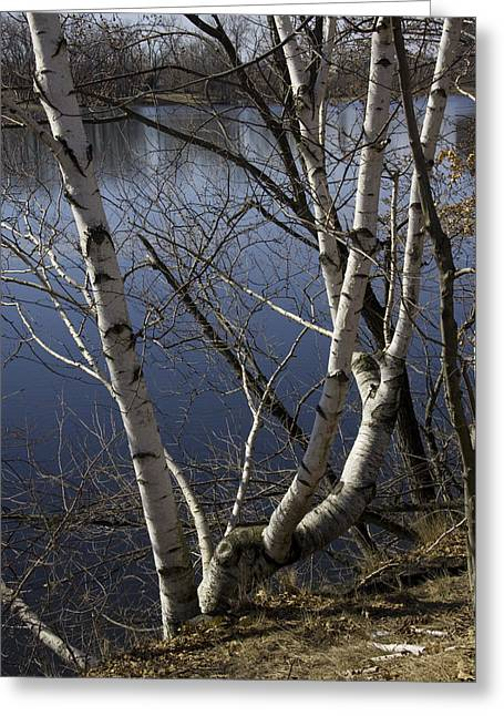 Canon 40d Greeting Cards - Birches on the River Greeting Card by Michael Friedman