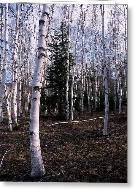 Birches Greeting Card by Skip Willits