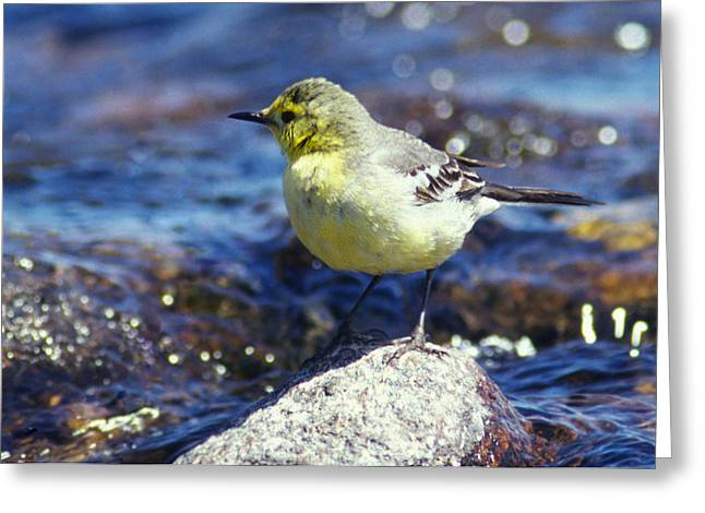 Rushing Water Greeting Cards - Bird Greeting Card by Anonymous