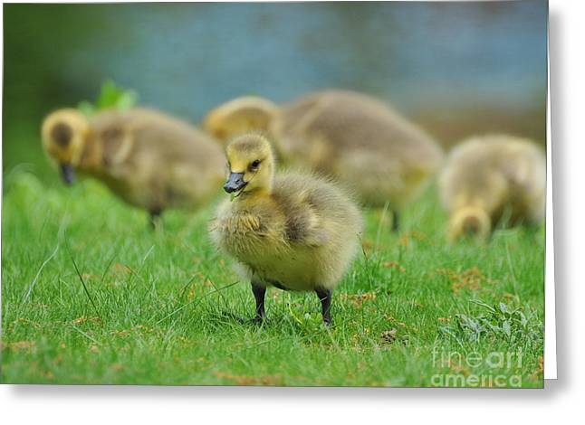 Baby Bird Greeting Cards - Bird - Baby Goose -Leader of the Pack Greeting Card by Paul Ward