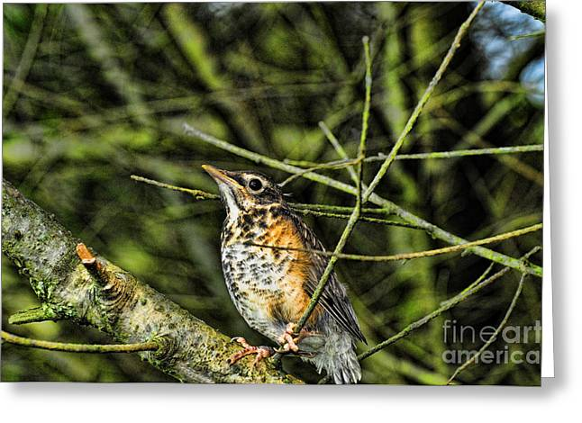 Bird - Baby Robin Greeting Card by Paul Ward