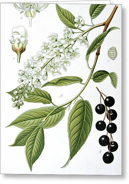 Small Trees Greeting Cards - Bird Cherry Cerasus padus or Prunus padus Greeting Card by Anonymous