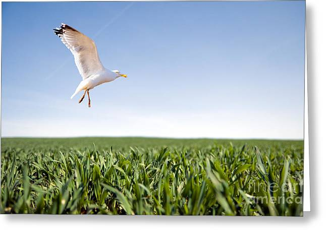 Bird Flying Over Green Grass Greeting Card by Michal Bednarek