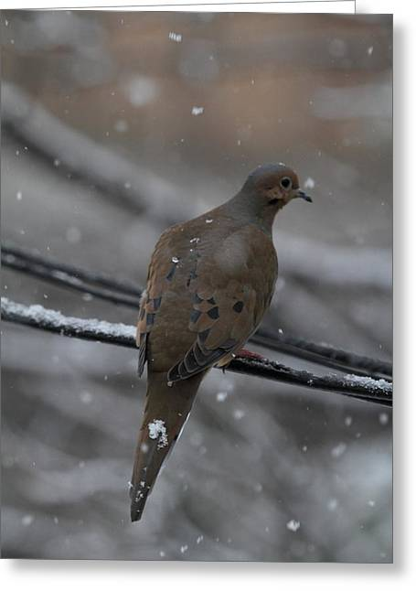 Birding Photographs Greeting Cards - Bird In Snow - Animal - 01131 Greeting Card by DC Photographer