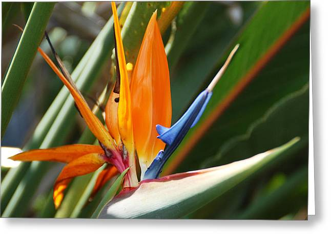 Petal Greeting Cards - Bird of Paradise Greeting Card by Aimee L Maher Photography and Art