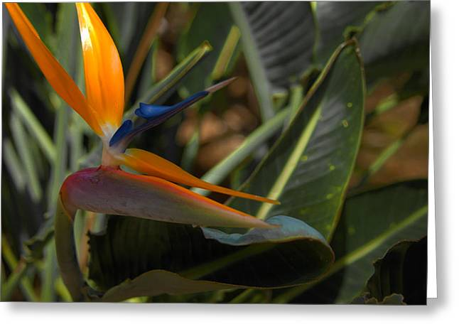 Brianharig Greeting Cards - Bird Of Paradise Greeting Card by Brian Harig