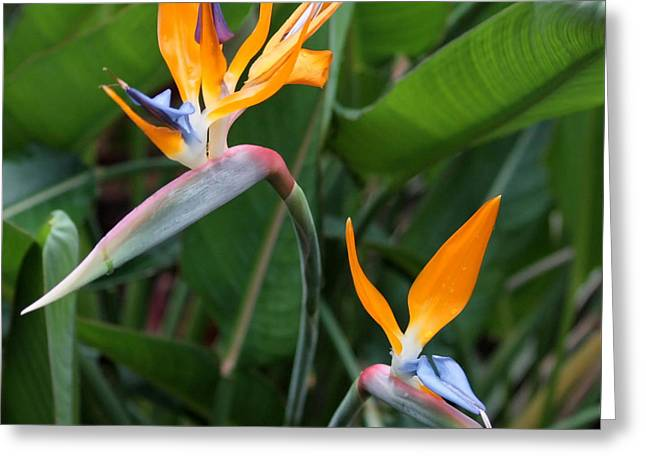 Regina Greeting Cards - Bird of Paradise Greeting Card by Carol Groenen