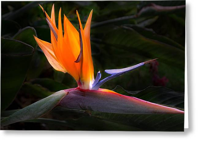 Bird Of Paradise Greeting Cards - Bird Of Paradise Flower Greeting Card by Brian Harig