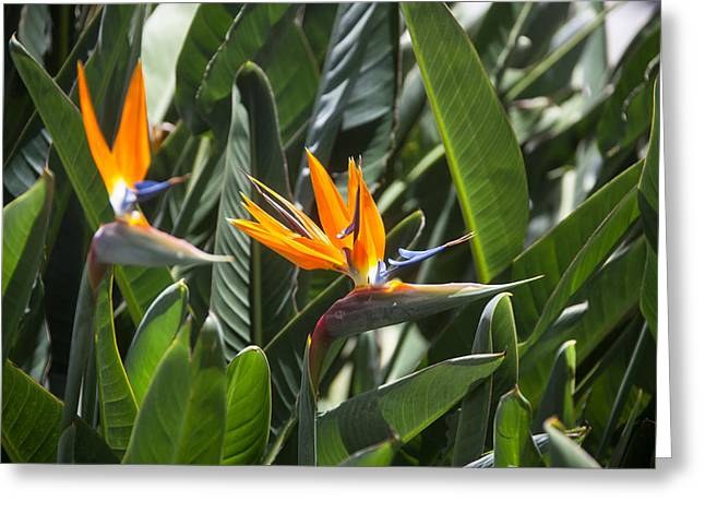 Strelitzia Greeting Cards - Bird-of-paradise Flower Greeting Card by Ralf Kaiser