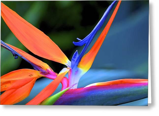 Tropical Birds Of Hawaii Greeting Cards - Bird of Paradise Greeting Card by Jade Moon