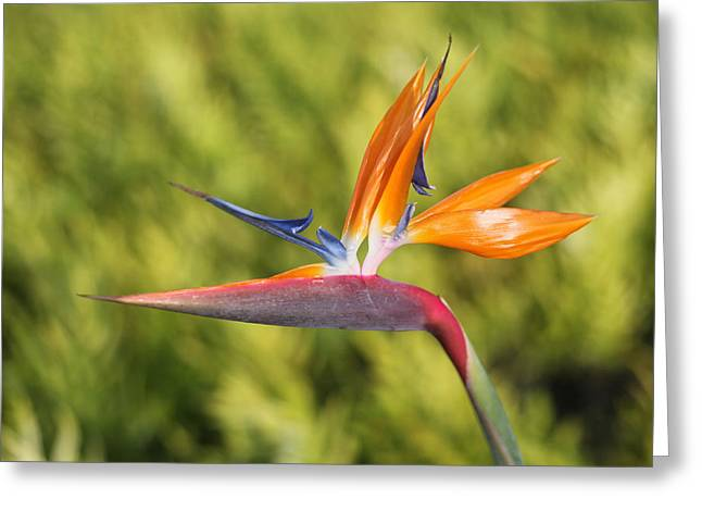 Jim Nelson Greeting Cards - Bird Of Paradise Greeting Card by Jim Nelson