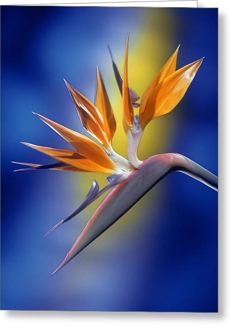 Bird Of Paradise Greeting Card by Kirk Ellison