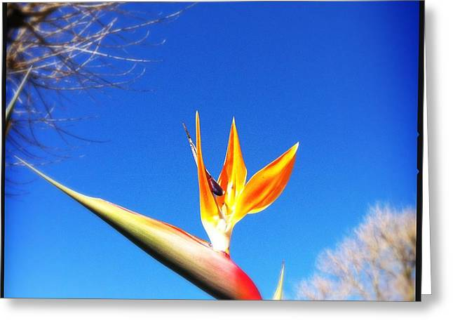 Strelitzia Greeting Cards - Bird Of Paradise Greeting Card by Marco Oliveira