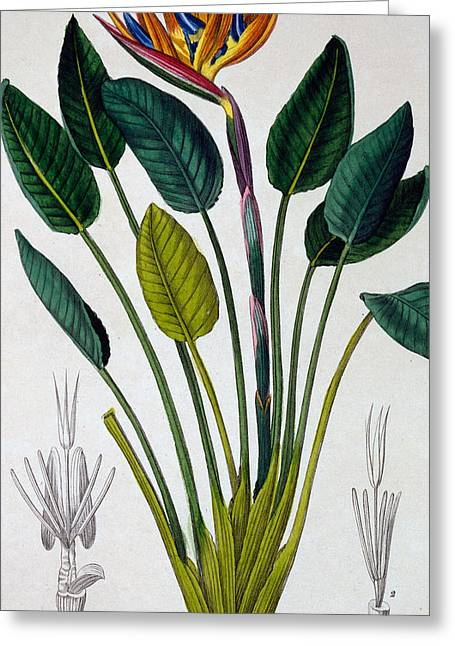 Vase Of Flowers Greeting Cards - Bird of Paradise Greeting Card by Pancrace Bessa