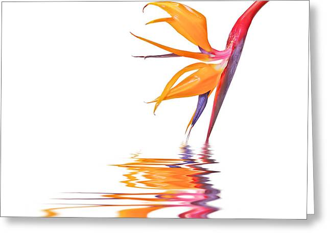 Strelitzia Greeting Cards - Bird of paradise reflections Greeting Card by Delphimages Photo Creations