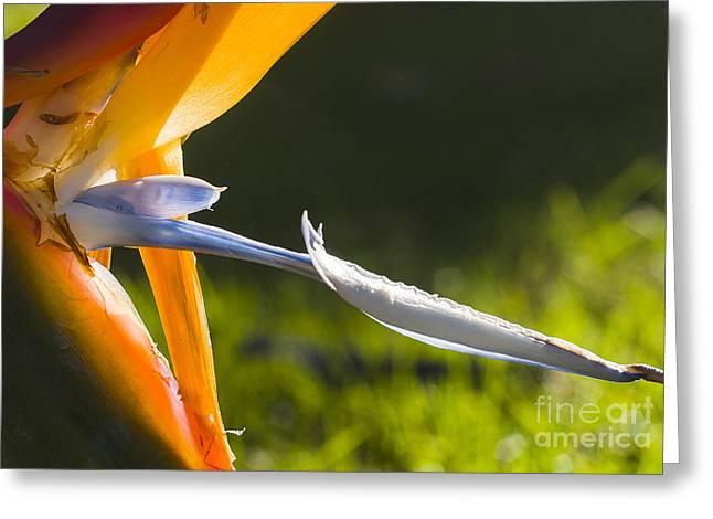 Steven Ralser Greeting Cards - Bird of Paradise Greeting Card by Steven Ralser