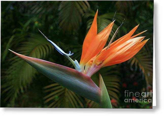 Tropical Birds Of Hawaii Greeting Cards - Bird of Paradise - Strelitzea reginae - Tropical Flowers of Hawaii Greeting Card by Sharon Mau