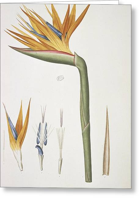 Choix Greeting Cards - Bird-of-paradise (Strelitzia reginae) Greeting Card by Science Photo Library